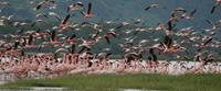 Flamingos on an African Safari