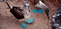 Spot blue footed boobies in Galapagos - World Expeditions