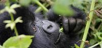 Wildlife Holidays - Gorillas in Uganda - World Expeditions