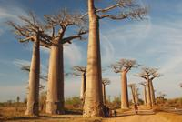 Boabab_Trees_Madagascar_Africa-small (1)