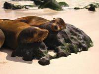 Sea lions resting, Galapagos Islands. Image credit: Ian Cooper