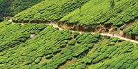 South India's verdant landscapes include spectacular tea plantations to explore by bike