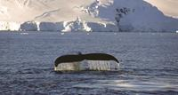 A Whale Cruise in Antarctica