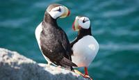 Arcitc holidays with World Expeditions to Wrangel Island - puffins