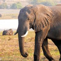 Beautiful African Elephant in the heart of Chobe National Park |  <i>Natalie Tambolash</i>
