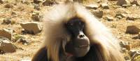 Gelada in the Simien Mountains | Fiona Windon