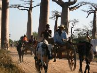 Baobab Alley, Morondava -  Photo: Janet Oldham