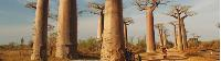 Huge baobab trees in Madagascar -  Photo: Chris Buykx