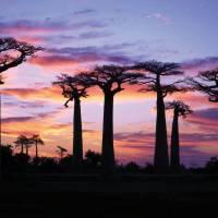 Stunning sunset behind baobab trees   Gesine Cheung