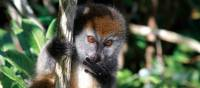 Cheeky lemur playing in the tree tops | Ian Williams