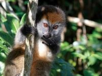 Cheeky lemur playing in the tree tops -  Photo: Ian Williams