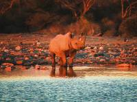 A rhino in Etosha National Park |  <i>Peter Walton</i>
