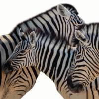 Zebra in Etosha National Park | Peter Walton