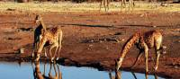 A herd of giraffe drinking from a water hole in Etosha National Park | Sue Badyari