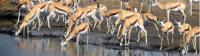 Large pack of Thomson Gazelle down by the waterhole |  <i>Gesine Cheung</i>