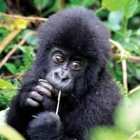 Cute face of an infant mountain gorilla in Rwanda | Gesine Cheung