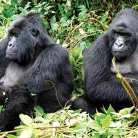 Family of mountain gorillas enjoying the sunshine | Gesine Cheung