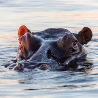 Spot hippopotamus on a South African wildlife safari | Peter Walton