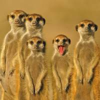 Meerkats of the Kalahari Desert in southern Africa
