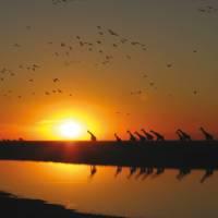 Giraffes silhouetted against an African sunset | David Jung