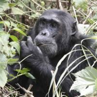 A male chimp grazes on the vegetation   Ian Williams