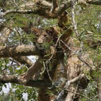 Tree climbing lion in Queen Elizabeth National Park   Ian Williams