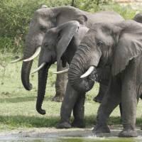 Herd of elephants in the Kazinga Channel   Ian Williams