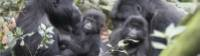 A gorilla family go about their business in Bwindi National Park |  <i>Ian Williams</i>