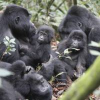 A gorilla family go about their business in Bwindi National Park   Ian Williams