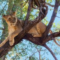 Tree climbing lion relaxing in Zimbabwe   Peter Walton