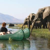 Elephants crossing the Zambezi River   Kerry Murray
