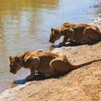 Lioness lazing around by the water | Peter Walton