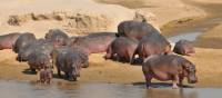 Hippos in South Luangwa National Park | Bruce Taylor