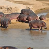 Hippos in South Luangwa National Park   Bruce Taylor