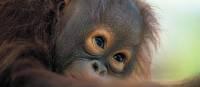 A playful orangutan in Sarawak