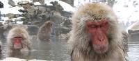 Snow monkeys taking a dip in northern Japan on our 'Snow Monkeys' trip