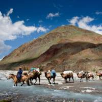 Camel crossing while on tour in Mongolia   Cam Cope