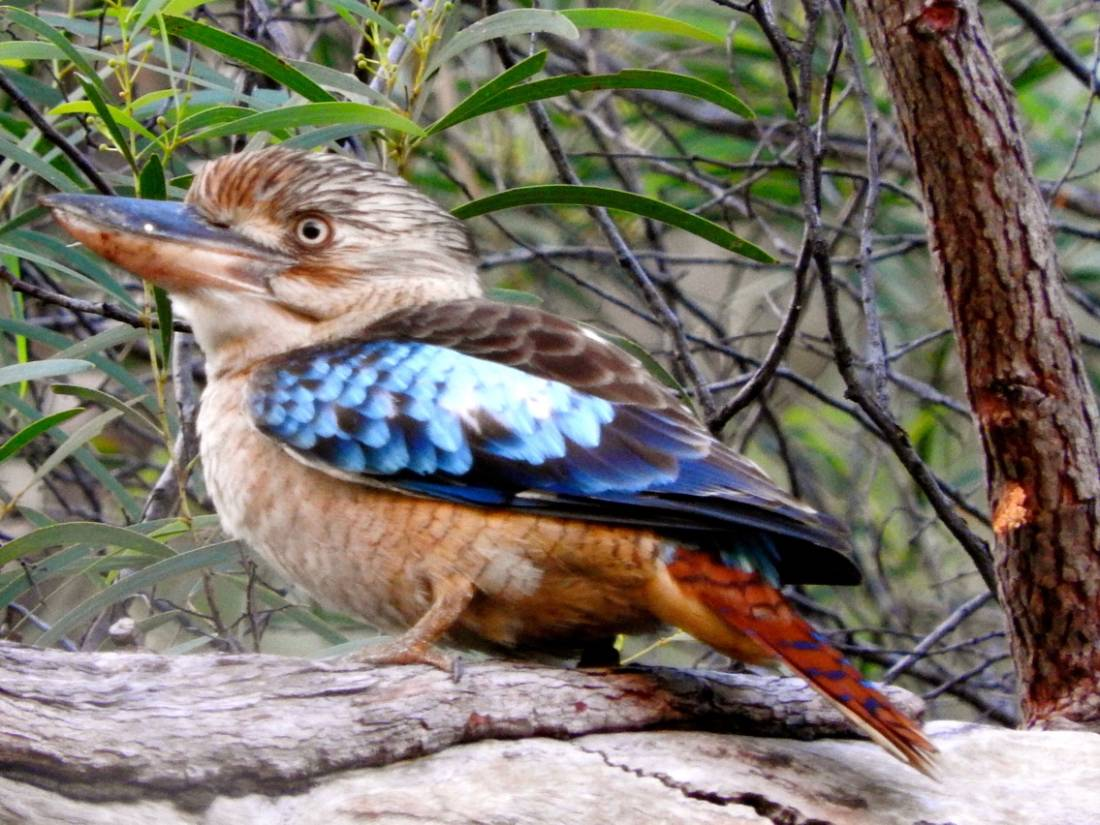 Keep your ears peeled for the raucous calls of Blue-winged Kookaburras |  <i>Holly Van De Beek</i>