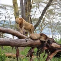 Lions resting at Lake Nakuru, Kenya | Ayla Rowe