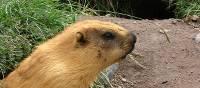 A Marmot enjoying life under Lenin Peak