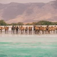 Camels at Salalah | Frances Howorth