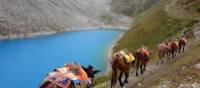 Mules near Larkya La | Michelle Landry