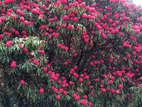 Huge rhododendron trees look spectacular in flower in the Himalayan spring |  <i>Michele Eckersley</i>