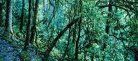 Old forest on trek in Sikkim | Richard I'Anson