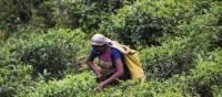 Tea plantations around Puressa, Sri Lanka | Andrew Darby Smith