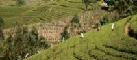 Large scale agriculture at a local tea plantation | Charles Duncombe