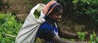 A Sri Lankan woman picks tea | Paul Allen
