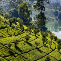 Classic Sri Lankan tea plantation landscapes   Richard I'Anson
