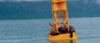 Group of sea lions relaxing on a buoy in Valdez, Alaska | Jake Hutchins
