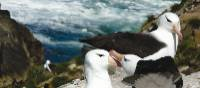 The Antarctic is home to a vast number of bird species, including the Black-browed Albatross | Anne Clark